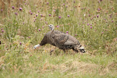Wild Turkey. Royalty Free Stock Photo