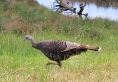 Wild turkey, female Stock Photo