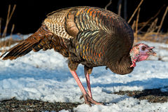 Wild Turkey Stock Photos