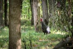 Wild Turkey In Forest. Wild turkey walking around forest in Autumn. Galliformes Phasianidae Stock Images