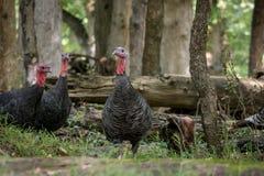Free Wild Turkey Galliformes Phasianidae Royalty Free Stock Photography - 113970707