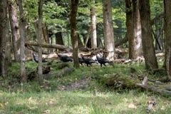 Wild Turkey Game Trail. Wild turkey walking around forest in Autumn. Galliformes Phasianidae Royalty Free Stock Photos