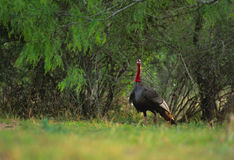 Wild Turkey Gobbler. A mature male wild turkey standing on alert in a meadow Stock Image