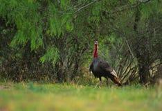 Wild Turkey Gobbler Stock Image