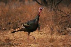 Wild Turkey Gobbler. Rio Grande wild turkey gobbler  in central Texas, USA Royalty Free Stock Photography