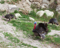 Wild Turkey Gobbler. Gobbler turkey hen travel background Stock Photos
