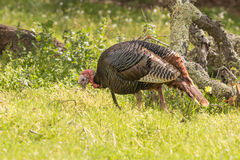 Wild Turkey Gobbler Stock Photo