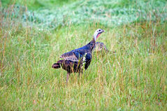 A Wild Turkey in a Grassy Field. The wild turkey (Meleagris gallopavo) is native to North America and is the heaviest member of the diverse Galliformes. It is Royalty Free Stock Images