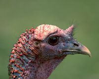 Wild Turkey Head Royalty Free Stock Photos