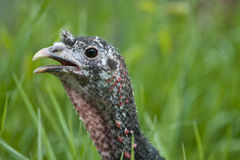 Wild  turkey hen Stock Image