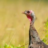 Wild turkey hen Royalty Free Stock Photo