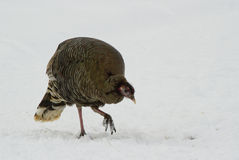 Wild turkey hen Stock Photography