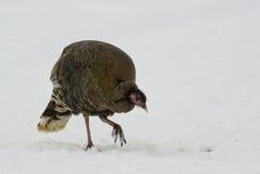 Wild turkey hen. This is a wild turkey hen in north western Wyoming stock photography