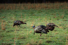 Wild Turkey Hunting for Food Stock Photography