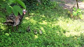 Wild turkey with its brood. On the outskirts of the forest, graze a wild turkey with their children stock video