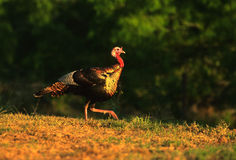 Wild Turkey Male. A male wild turkey walking across a short grass opening Royalty Free Stock Images