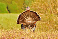 A Wild Turkey. A Male Wild Turkey dancing to attract female for mating Stock Photography