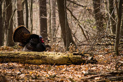 Wild turkey. A wild male turkey fanned out Royalty Free Stock Image