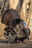 Wild Turkey Stock Photo