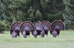 Wild turkey mating dance Royalty Free Stock Images