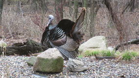 A Wild Turkey in Mating Season stock footage