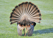 Wild Turkey (Meleagris gallopavo) Royalty Free Stock Images