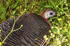 Wild Turkey (Meleagris gallopavo) Royalty Free Stock Photos