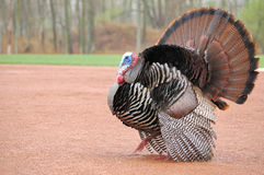 Wild Turkey (Meleagris gallopavo) Royalty Free Stock Photography