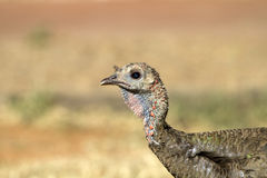 Wild Turkey, Meleagris gallopavo. Profile portrait of a southwestern female Wild Turkey Stock Images