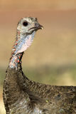 Wild Turkey, Meleagris gallopavo. Close portrait of a southwestern female Wild Turkey Stock Photos