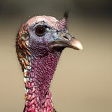 Wild Turkey, Meleagris gallopavo. Close portrait of a southwestern male Wild Turkey Stock Photography