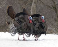 Wild Turkey (Meleagris gallopavo). A pair of male wild turkey's strutting in the early spring Royalty Free Stock Photography
