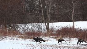 Wild Turkey, Meleagris gallopavo, flock in snow stock video