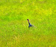 Wild Turkey Green Grass Royalty Free Stock Images