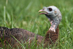 Wild Turkey (Meleagris gallopavo). In a green grassy field Royalty Free Stock Image