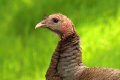 Wild turkey Meleagris gallopavo Royalty Free Stock Images