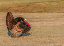 Wild Turkey (Meleagris gallopavo). Strutting male wild turkey displaying in the spring mating season Stock Photos