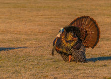 Wild Turkey (Meleagris gallopavo) Royalty Free Stock Image