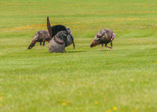 Wild Turkey (Meleagris gallopavo). Strutting male wild turkey displaying in the spring mating season Stock Image