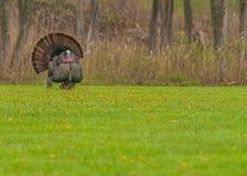 Wild Turkey (Meleagris gallopavo) Royalty Free Stock Photo