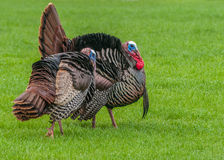 Wild Turkey (Meleagris gallopavo) Royalty Free Stock Photo