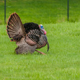 Wild Turkey (Meleagris gallopavo). Strutting male wild turkey displaying in the spring mating season Royalty Free Stock Image