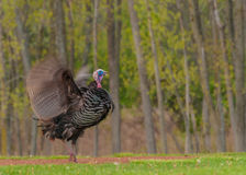 Wild Turkey (Meleagris gallopavo) Stock Image