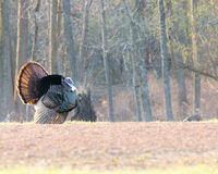 Wild Turkey (Meleagris gallopavo) Stock Photography