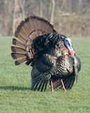 Wild Turkey (Meleagris gallopavo) Stock Photos
