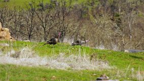 Wild Turkey Move Thru Rural Backyard Bird Animal Wildlife. Male Tom Turkeys follow the females thru rural backyards feeding and mating stock video footage