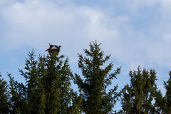 Wild Turkey. A Wild Turkey is perched atop a tall fir tree Royalty Free Stock Photography