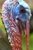 Wild turkey portrait Stock Photos