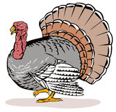 Wild turkey side view Royalty Free Stock Photography
