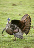 Wild Turkey Spreading Tail. A Wild Tom Turkey (Meleagris gallopavo), spreading his tail to attract a hen Royalty Free Stock Photo